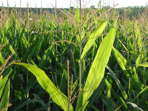Piden la retirada del maíz transgénico MON810, del que Uesca produce el 25% de toda Europa