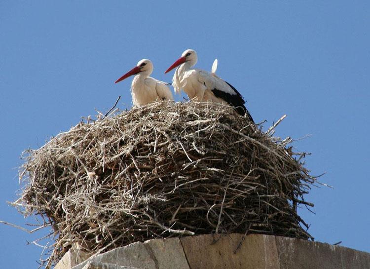 Denuncian los trabajos de retejado de la iglesia de Alcolea de Cinca mientras las cigüeñas incuban en sus nidos