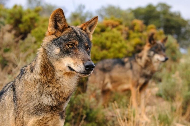 El Congreso pide la protección estricta del lobo ibérico