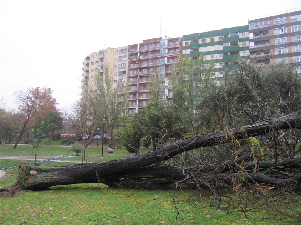 Cae una acacia de tres espinas 'catalogada' en el Parque Bruil de Zaragoza
