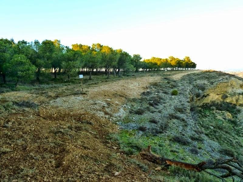 Ecologistas en Acción denuncia la destrucción de una población de Gagea lacaitae en unas obras realizadas por la CHE en Monzón