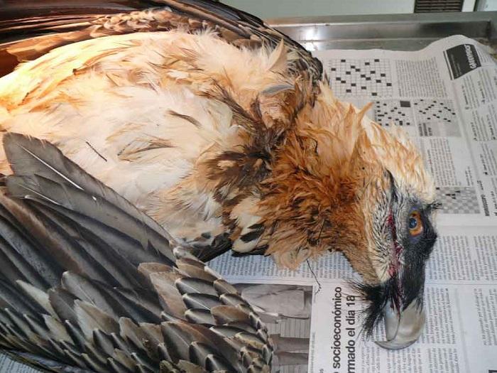 Los tendidos eléctricos provocan la muerte de miles de aves silvestres en Aragón