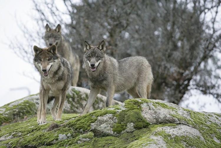 La asociación Bajo Aragón Animalista organiza en Alcanyiz una charla bajo el título 'El lobo en la actualidad'