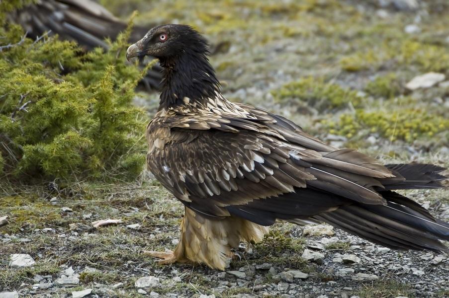 El quebrantahuesos se reproduce en Picos de Europa tras 50 años de ausencia