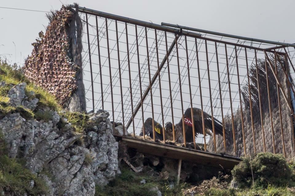 Nueva suelta de quebrantahuesos en los Picos de Europa
