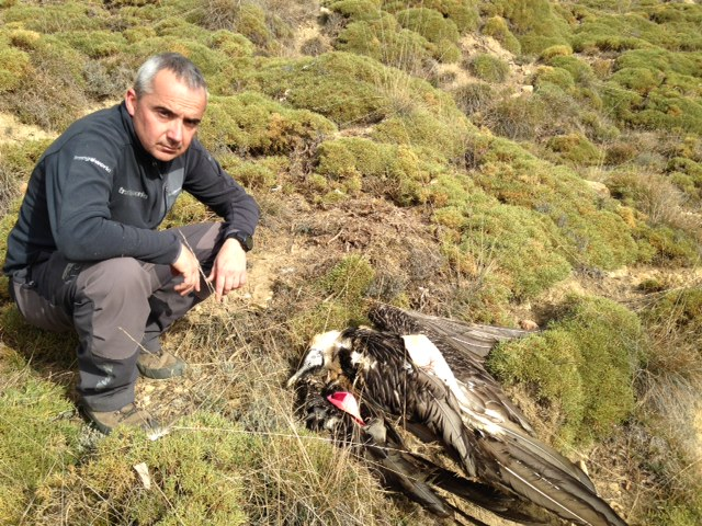 Se localiza muerto el quebrantahuesos «Tuca» en el Pirineo aragonés