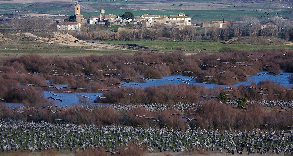 El Centro 'Alberca de Alboré' invita a ser voluntario en el censo de grullas