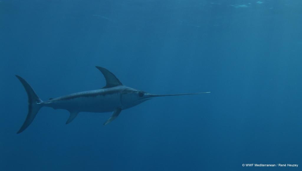 Según WWF, el pez espada del Mediterráneo  está al borde del colapso