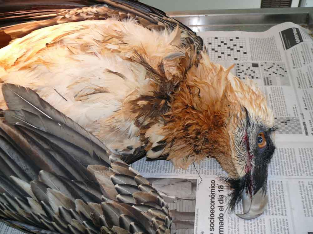 El Gobierno de Aragón continúa sin hacer público el inventario de líneas eléctricas peligrosas para la avifauna protegida