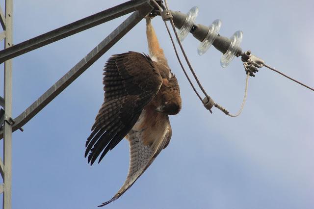"""""""Evitar el impacto de los tendidos eléctricos en las aves requiere modificar una norma insuficiente"""""""
