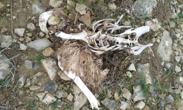 Un nuevo caso de electrocución en tendidos acaba con la vida de dos buitres leonados, un cuervo y dos águilas reales