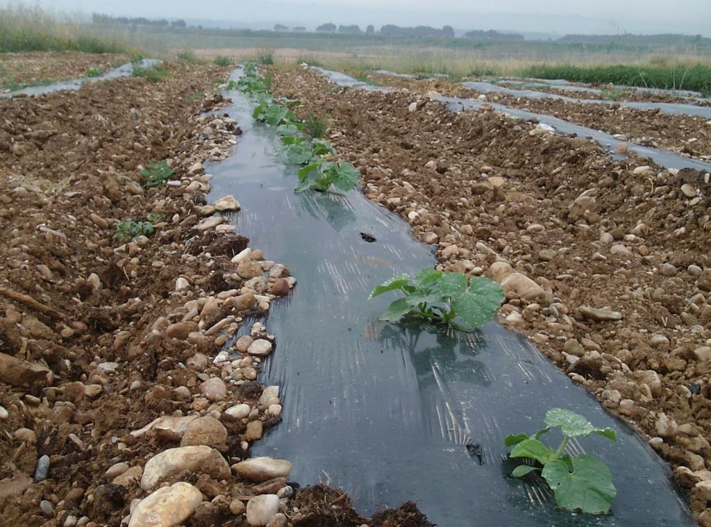 La Red de Semillas de Aragón realiza una evaluación agronómica de variedades tradicionales