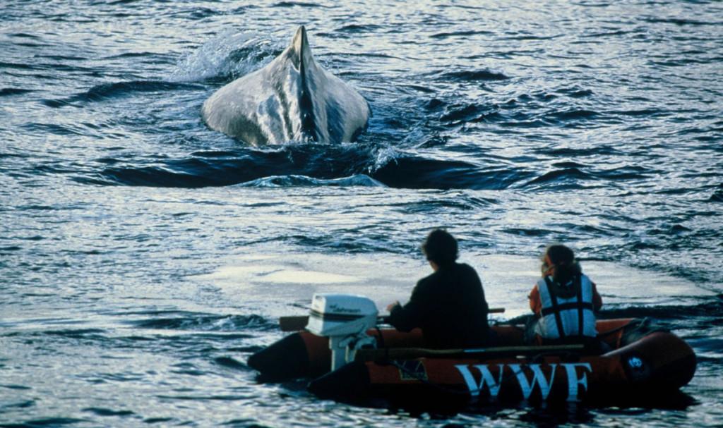 WWF urge a los países a oponerse a la reapertura de la caza de ballenas