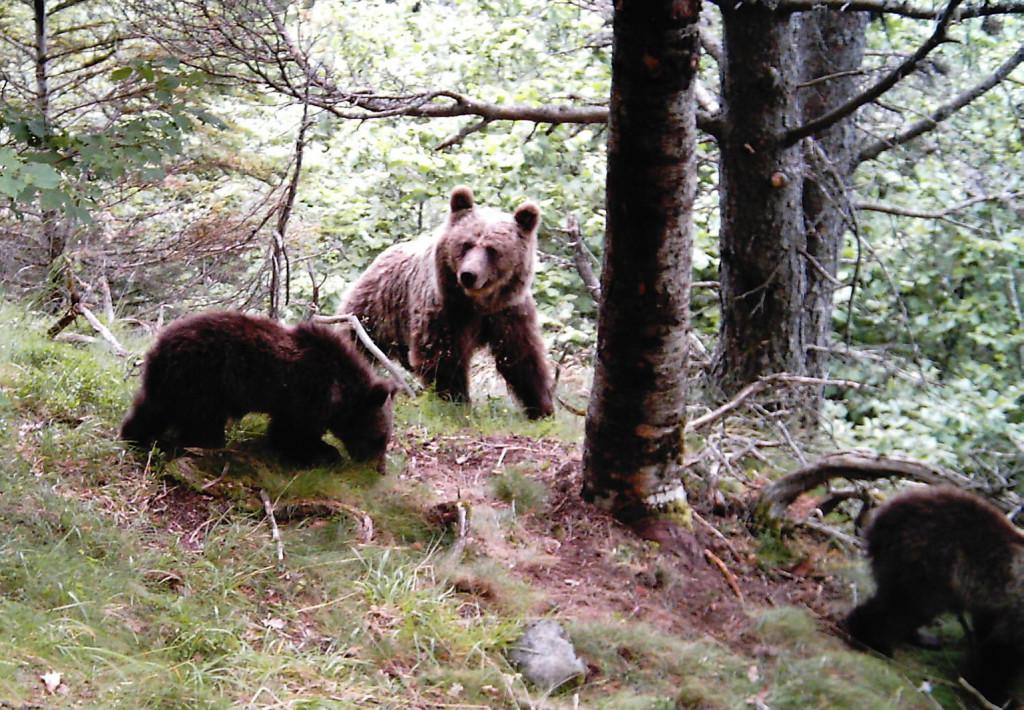 Desarrollo Rural propone al sector un paquete de ayudas para las ganaderías con riesgo de ataque por lobo u oso pardo