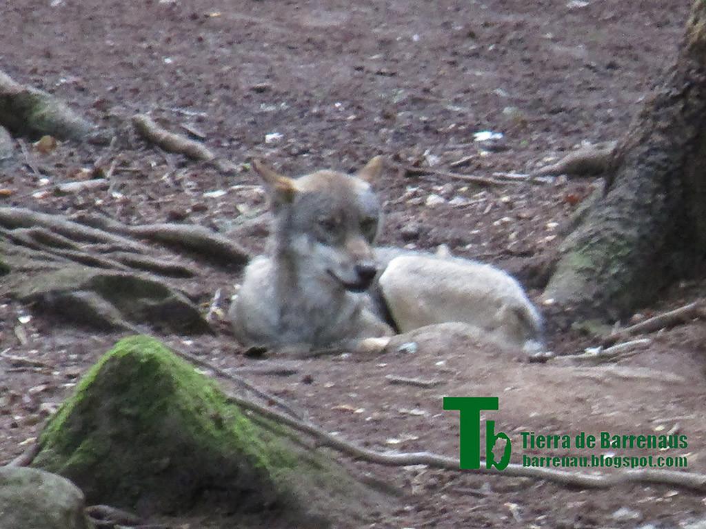 Un lupo charrando aragonés