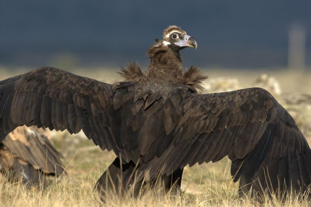SEO/BirdLife y WWF alertan que entre 3.000 y 6.000 buitres podrían morir al año si se sigue autorizando el diclofenaco