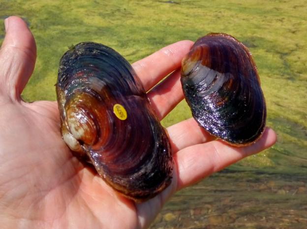Halladas cuatro nuevas margaritonas en el río Ebro en Aragón