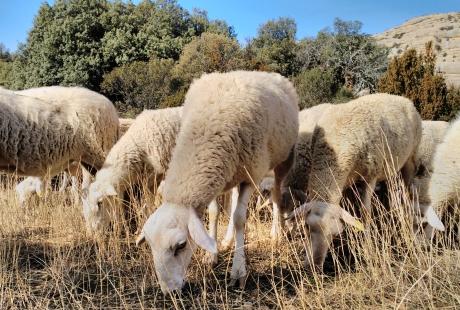 Remitida al BOA la orden de subvenciones para ganaderos afectados por la presencia de osos y lobos
