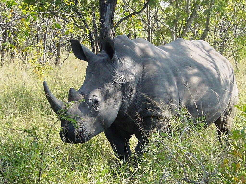 1.200 rinocerontes mueren cada año por la caza furtiva