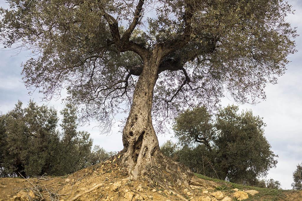 Apadrinar olivos para recuperar un pueblo