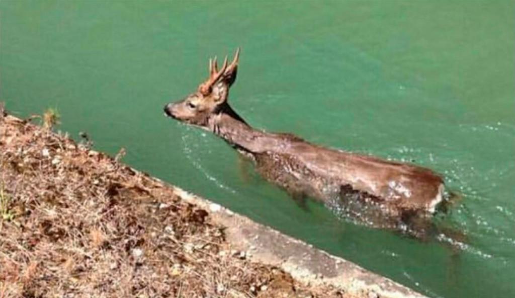 PACMA solicita a la CHE medidas para evitar los ahogamientos de corzos