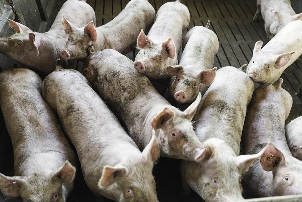 Tocilandia: once cerdos por habitante