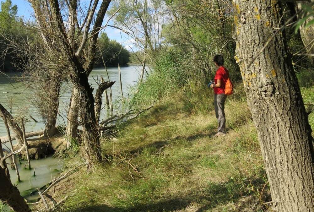 La Asociación Gabardiella de Biscarrués volverá a replantar árboles en la ribera del Galligo