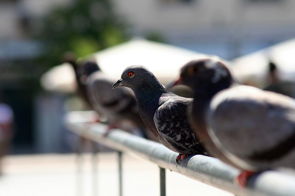 Amnistía Animal prepara para el 13 de mayo un acto informativo sobre la convivencia con las palomas