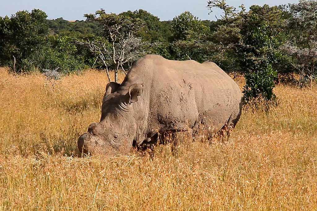 Muere el último macho de rinoceronte blanco que quedaba en el mundo