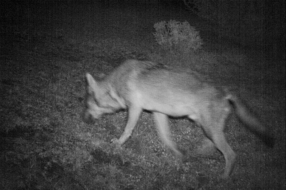 La presencia del lobo en Monegros ni es exótica ni invasora