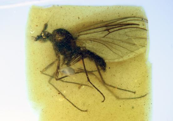 Descubiertas unas moscas únicas de hace 105 millones de años en el ámbar de San Just