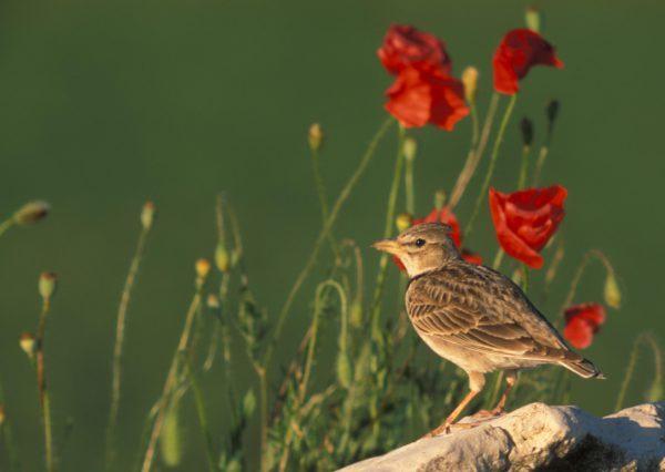 SEO/BirdLife busca la colaboración ciudadana para conocer el estado de las aves en Aragón