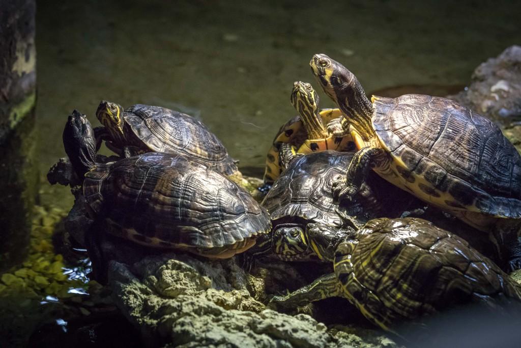 El Acuario de Zaragoza liberará ejemplares de galápagos europeos para repoblar los humedales