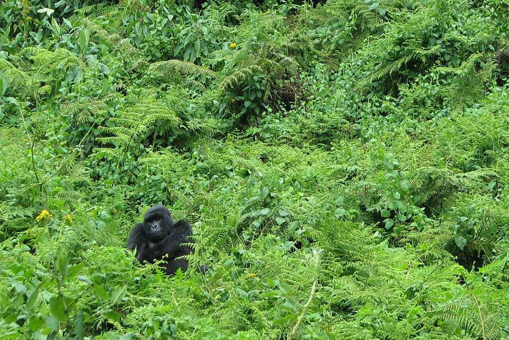 Aumenta la población de gorilas de montaña hasta superar los 1.000 ejemplares a pesar de las amenazas