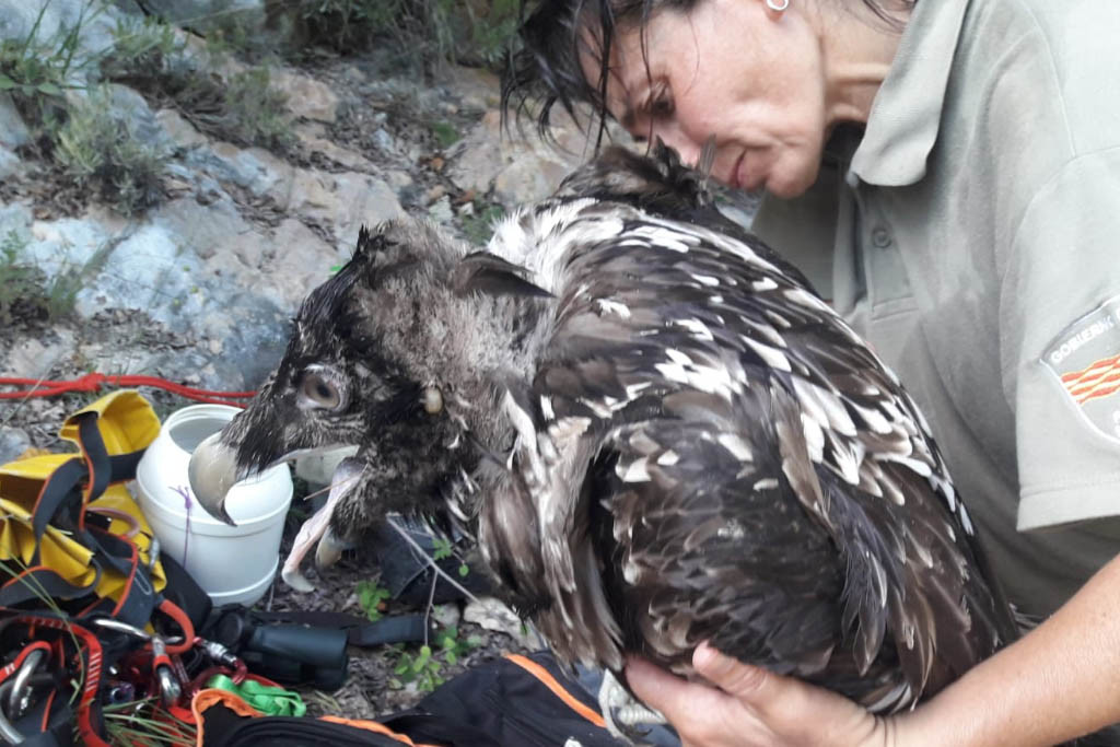 APN rescatan un Quebrantahuesos en el Parque Natural de la Sierra y los Cañones de Guara