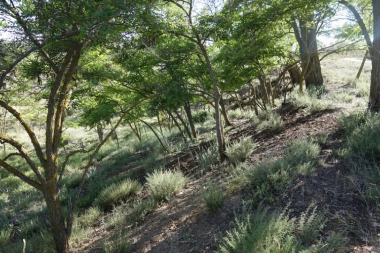 Hacia la constitución de la Asociación 'Amigas y Amigos de los Árboles de Teruel, Acacia'