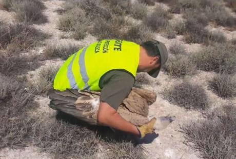Agentes para la Protección de la Naturaleza rescatan un buitre leonado en Zaragoza
