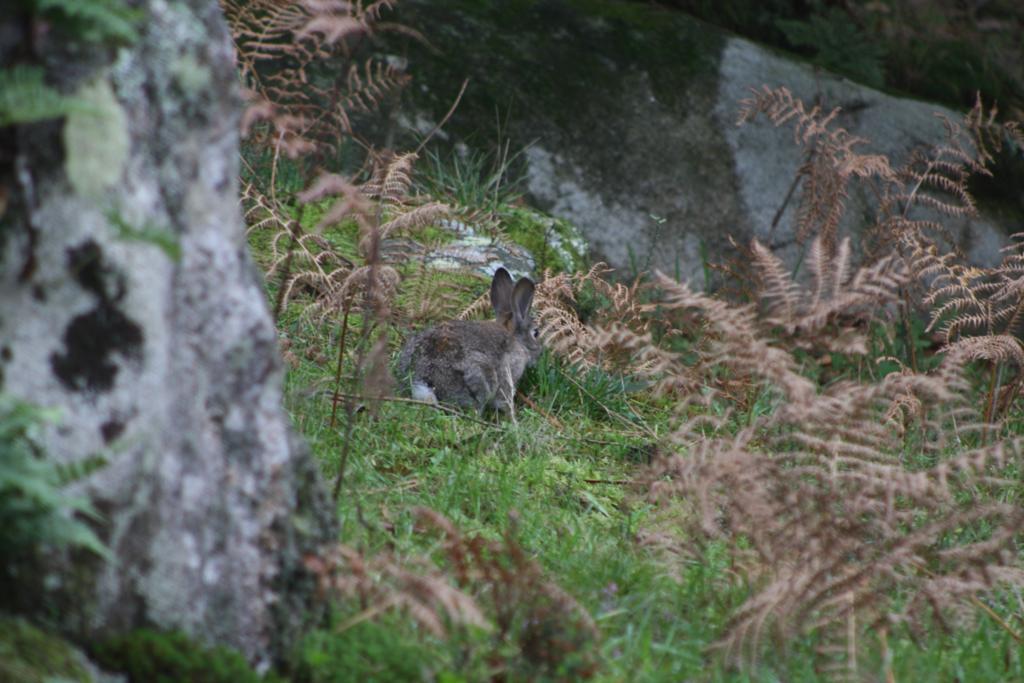 Las «malas prácticas» agrícolas y cinegéticas convierten al conejo silvestre en una especie amenazada
