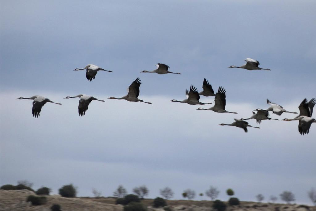 Gallocanta: un espectáculo natural de casi 30.000 grullas
