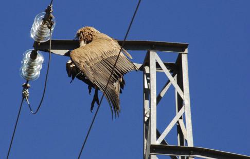 La FCQ pide la aplicación de la Ley de Responsabilidad Ambiental en relación a la mortalidad de aves en tendidos eléctricos