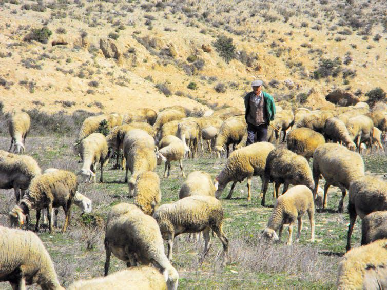 Rabanyo en pastoreo en Torreciella de Val Madriz (Zaragoza). Lucía López Marco