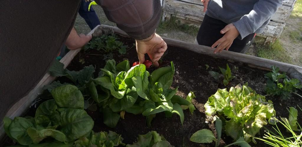 Escolares de la zona oriental de Uesca recogen los frutos de sus huertos escolares