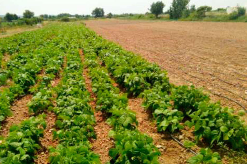 Se estudian la judía rastrojera, los tomate de colgar y el brócolí morao para facilitar su cultivo