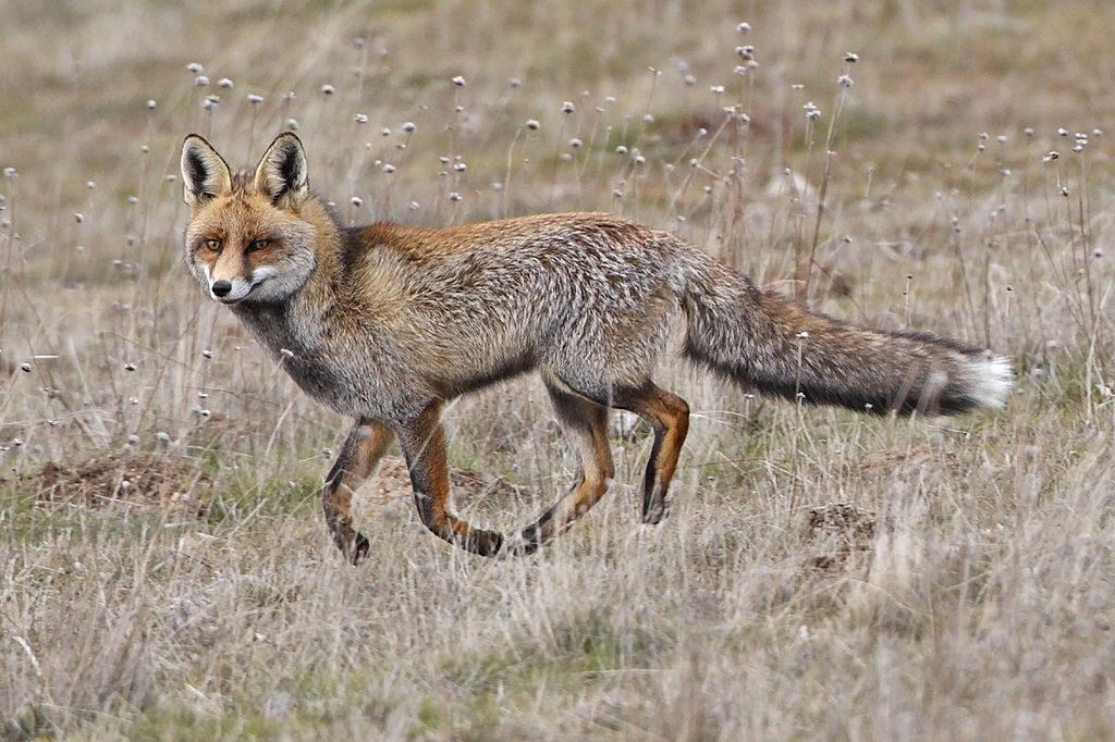 Cada año se ejecutan en el Estado español más de 250.000 zorros por ocio y negocio
