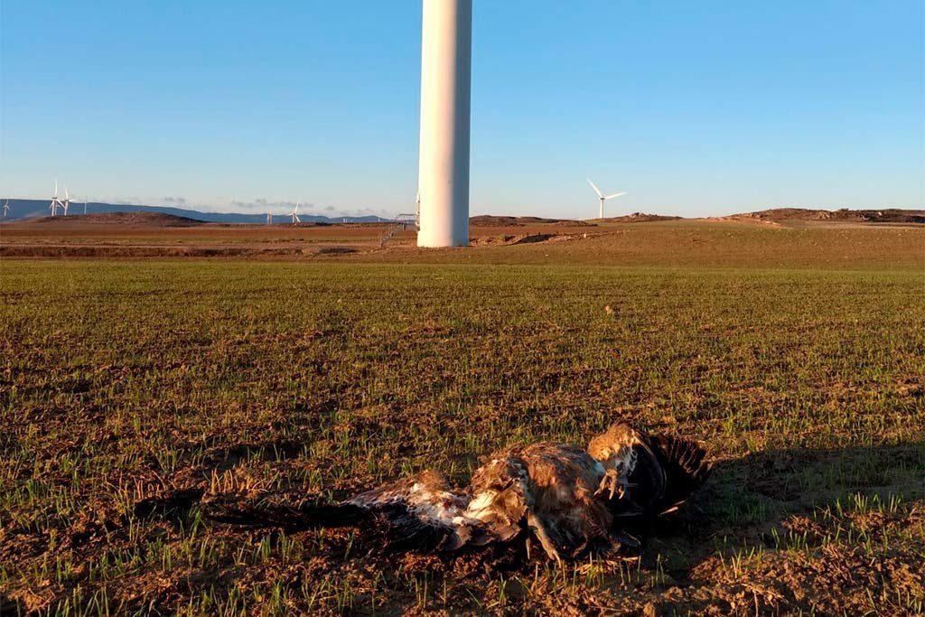 Miles de aves al año son abatidas por los aerogeneradores de los Parques Eólicos de Aragón